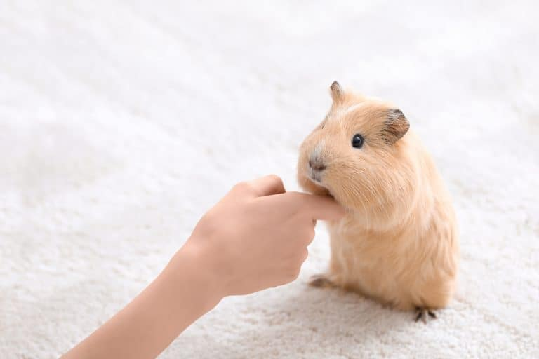Beige Guinea Pig Petted by Owner