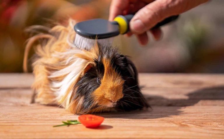 Brushing a Guinea Pig