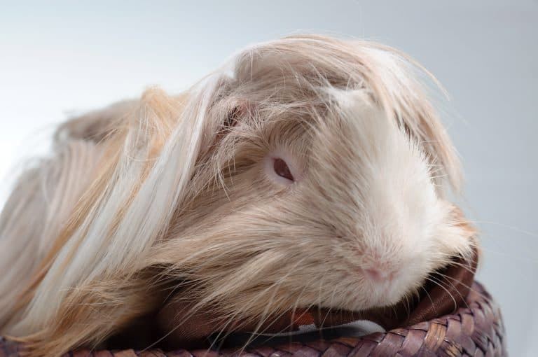 Cavy On Top of a Wooden Basket
