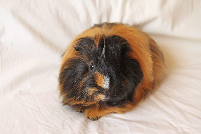 Cavy on Top of a Bed