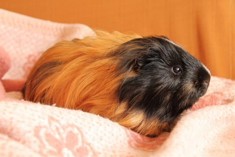Cavy on a Blanket