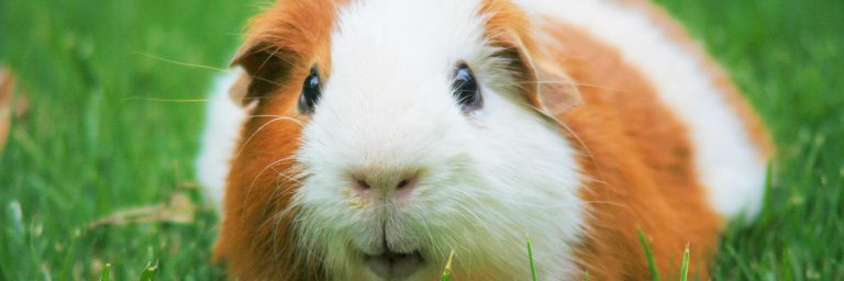 Featured Image - american guinea pig