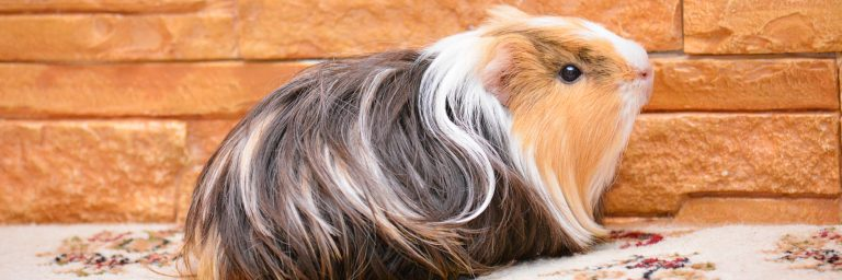 Featured Image - silkie guinea pig