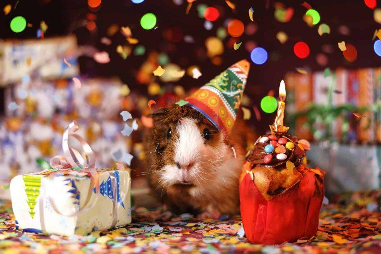 Guinea Pig Celebration