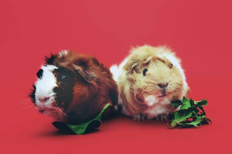 Guinea Pig Duo