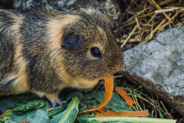 Guinea Pig Eating Carrot Slices