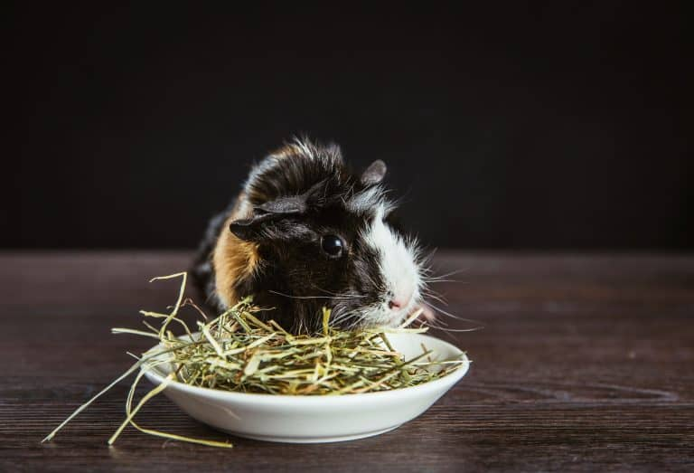 Guinea Pig Eating Hay on a Bowl