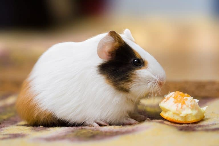 Guinea Pig Eating an Orange