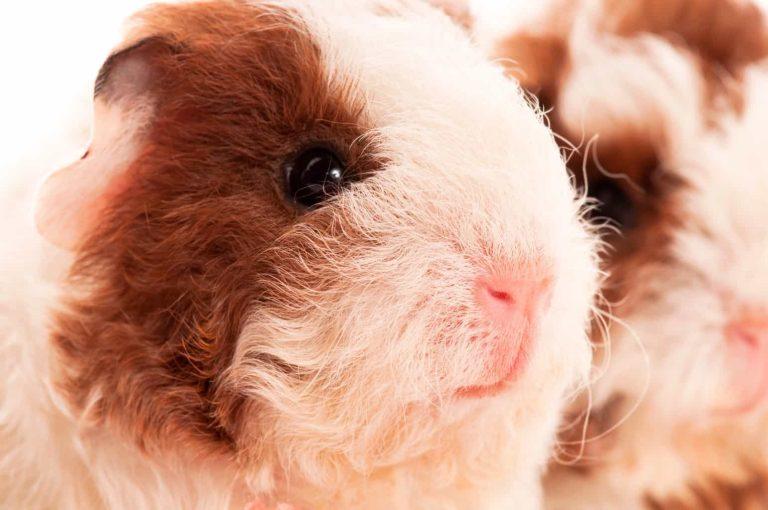 Guinea Pig Face Closeup