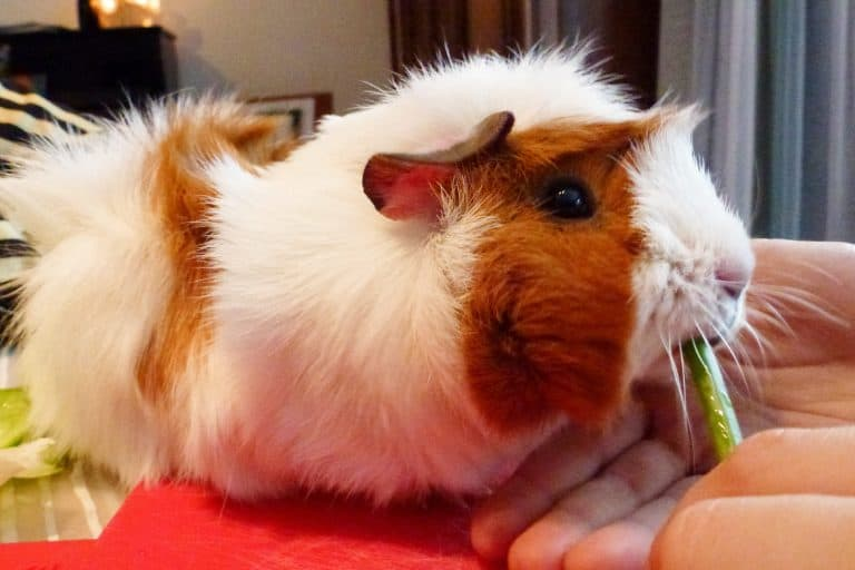 Guinea Pig Fed with a Vegetable