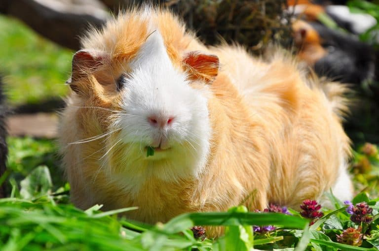 Guinea Pig Foraging at a Backyard