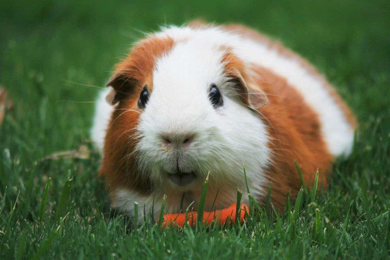 Guinea Pig Having a Snack