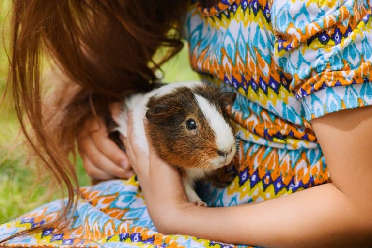Guinea Pig Held by a Child