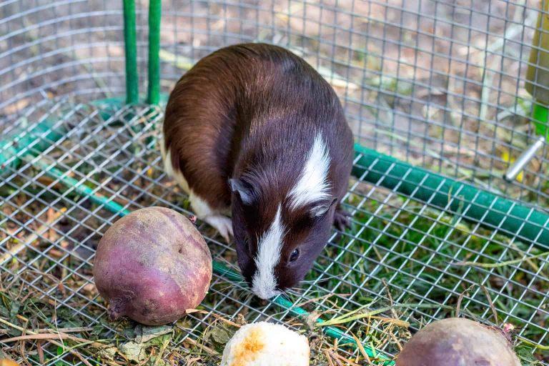 Guinea Pig Inside a Custom Wire Cage