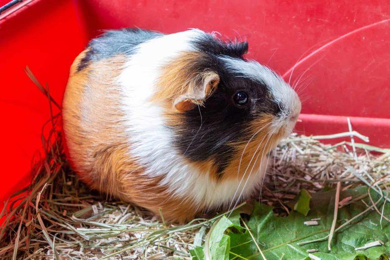 Guinea Pig Inside a Red Cage