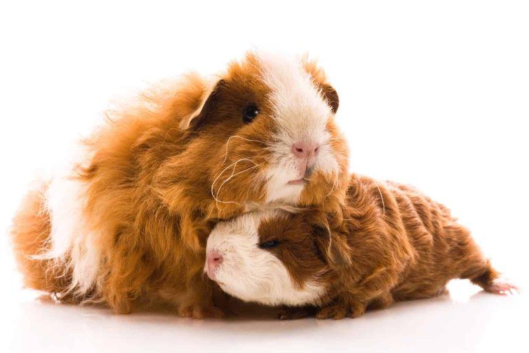 Guinea Pig Mom and Baby