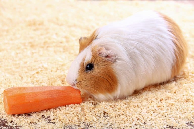 Guinea Pig Munching on a Carrot