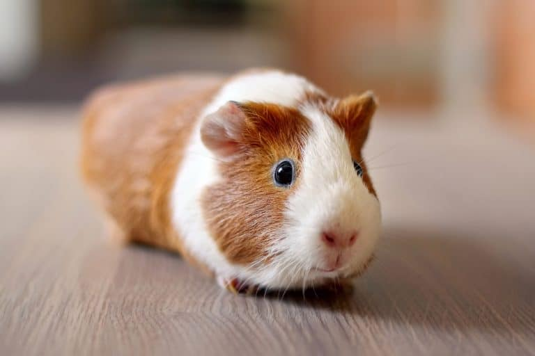 Guinea Pig On Top of a Wooden Table