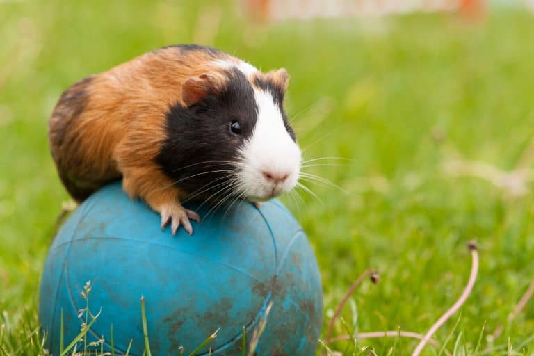 Guinea Pig Playing with a Ball