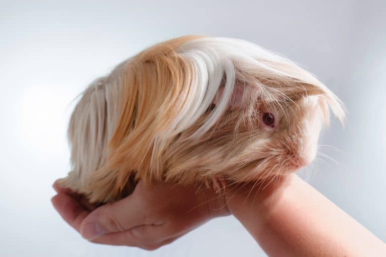 Guinea Pig Resting on a Hand