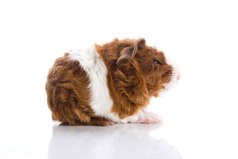 Guinea Pig Side View