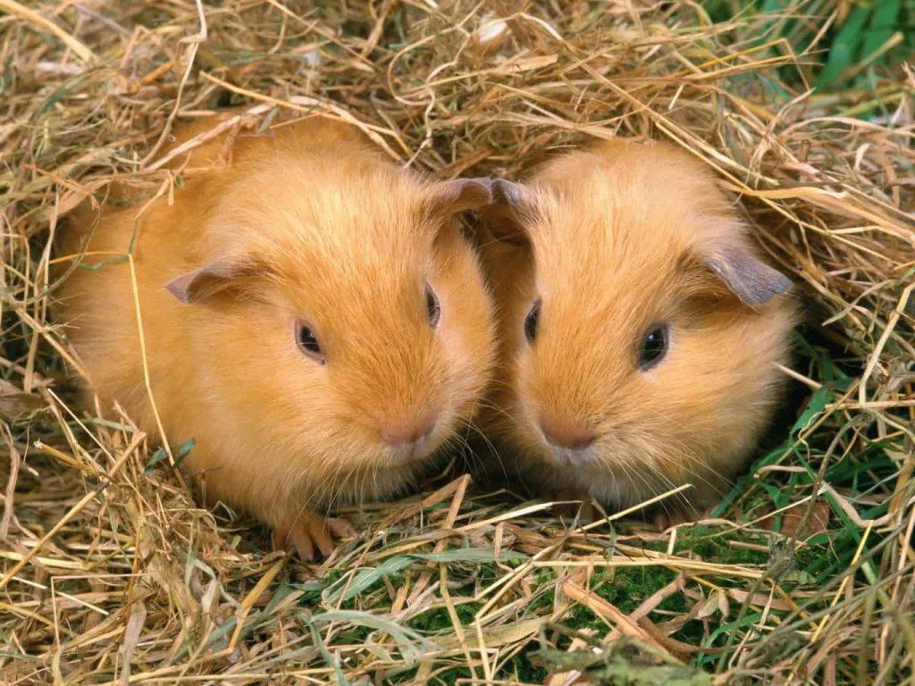 Guinea Pig Pair Wallpaper 4