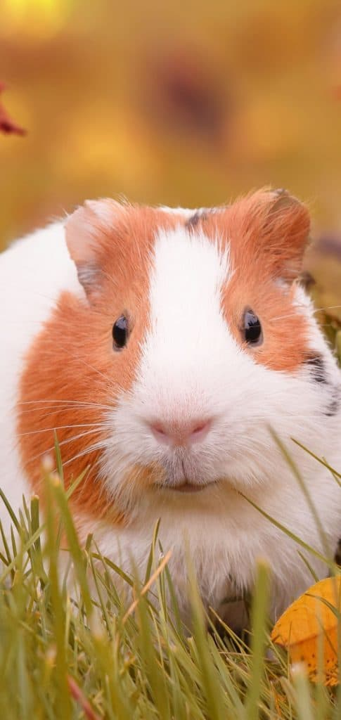 Guinea Pig Wallpapers for Phone 1