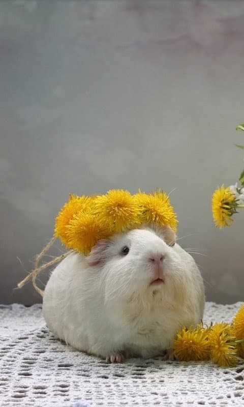 Guinea Pig Wallpapers for Phone 2