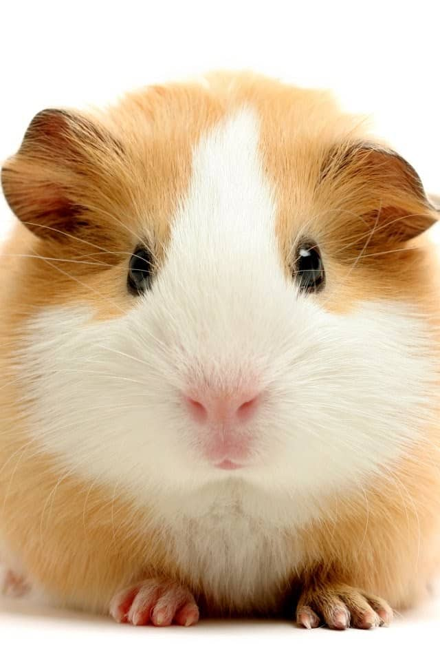Guinea Pig Wallpapers for Phone 4