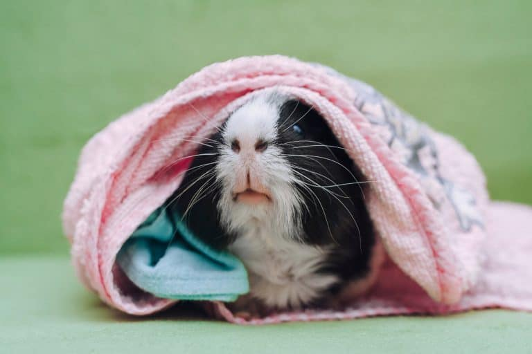 Guinea Pig Wrapped in a Pink Towel