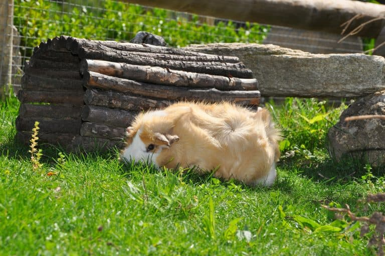 Guinea Pig at a Backyard