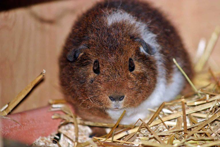 Guinea Pig in a Pen