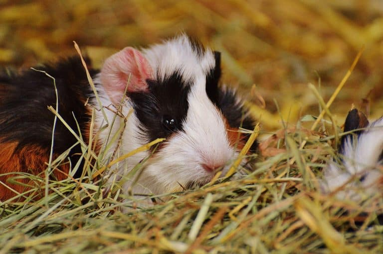 Guinea Pig on Hay Bedding