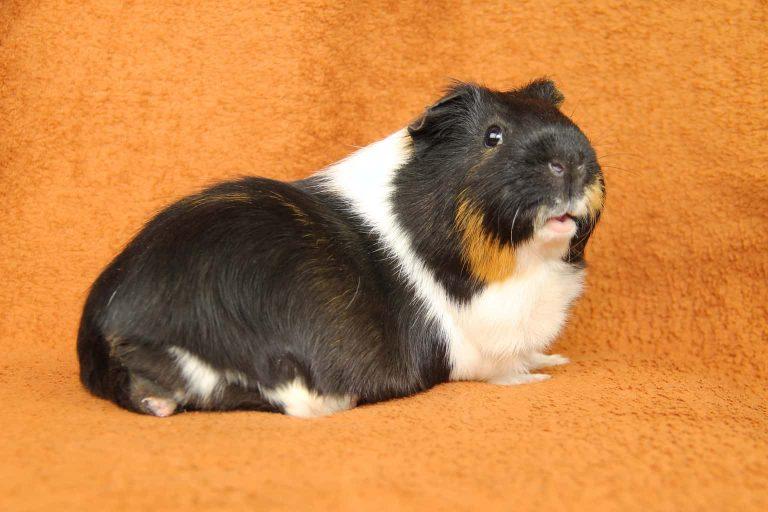 Guinea Pig on a Blanket