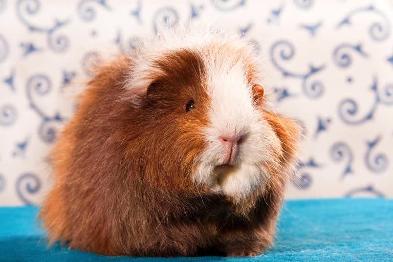Guinea Pig on a Blue Surface