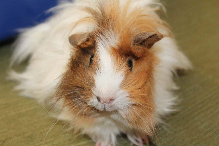 Guinea Pig on a Floor