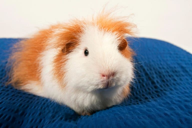 Guinea Pig on a Pillow