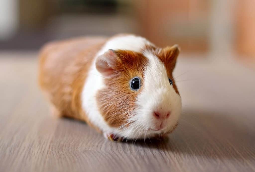 Guinea Pig on a Table
