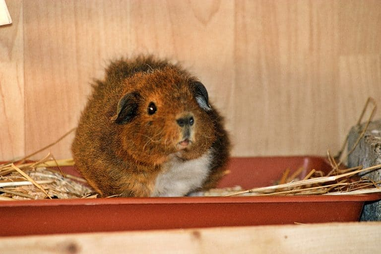Guinea Pig on a Tray
