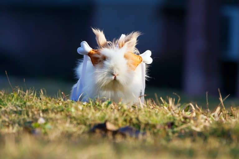 Guinea Pig with Chicken Clips