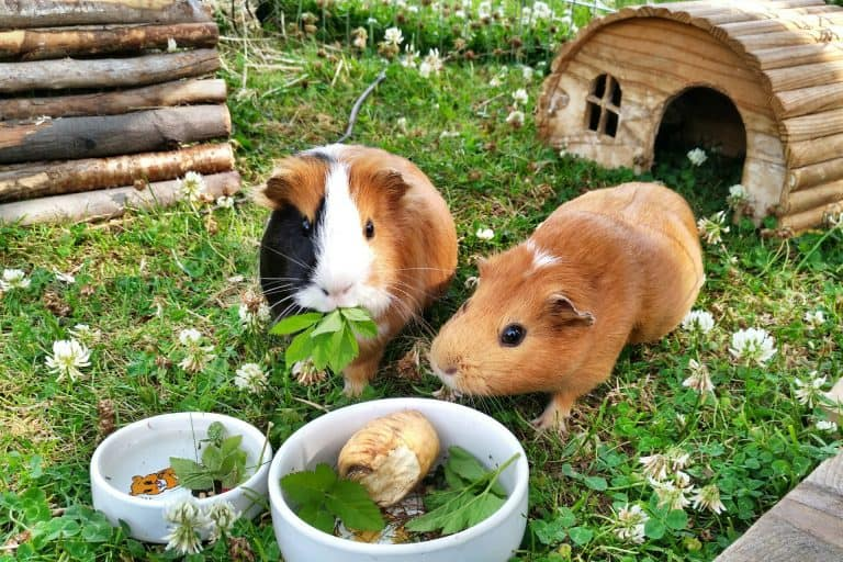 Guinea Pigs Eating Leaves