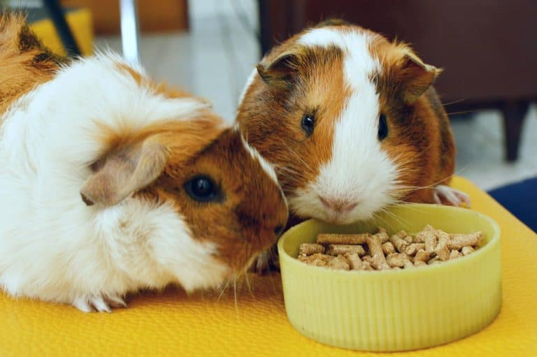Guinea Pigs Eating Pellets