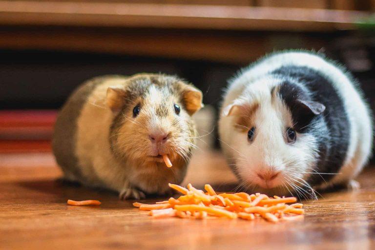 Guinea Pigs Eating Sliced Carrots