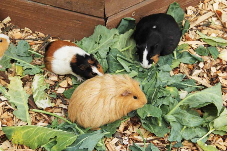 Guinea Pigs Eating Vegetables