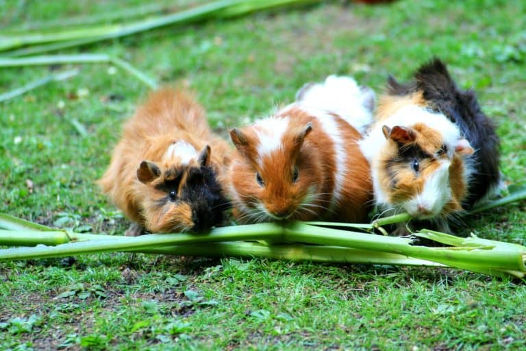 Guinea Pigs Eating a Vegetable Stalk