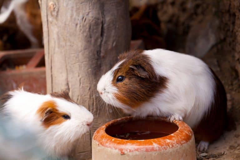 Guinea Pigs Near a Water Bowl