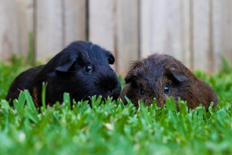 Guinea Pigs Playing at a Backyard