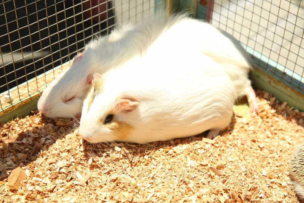 Guinea Pigs Snuggling