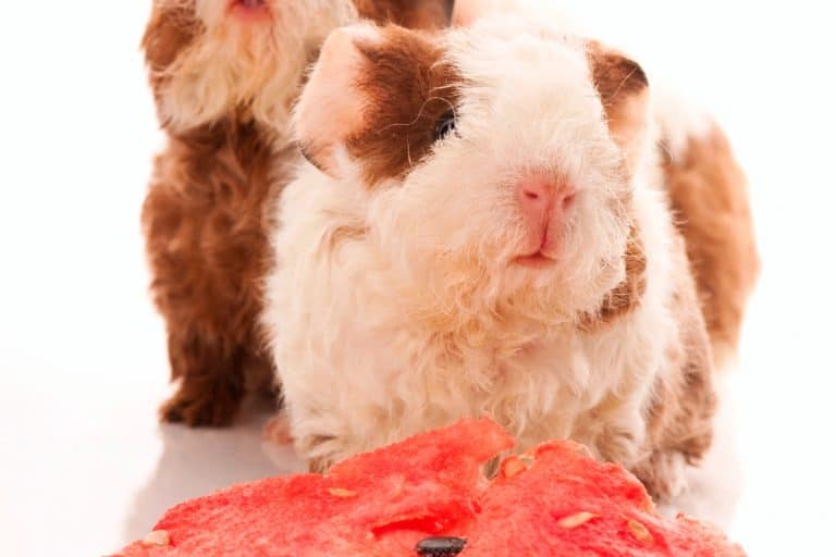 Guinea Pigs and a Fruit Slice