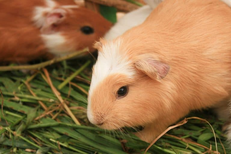 Guinea Pigs on Top of Hay